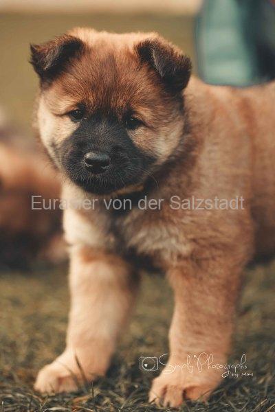 Eurasier-Simply-Photographs-by-Miro-0038